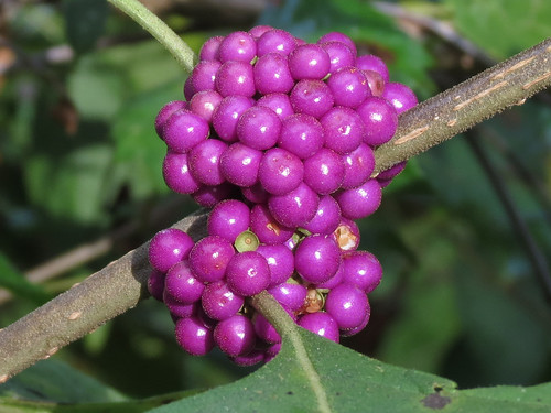 beautyberry
