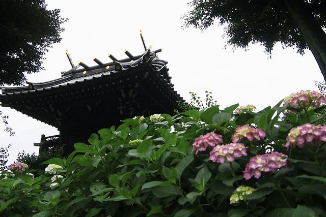 110611_144325_文京区白山神社_あじさいまつり