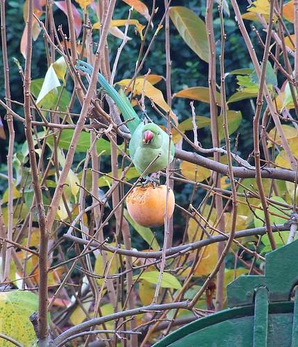pappag che guarda