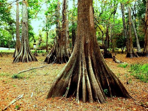 roots baldcypress sumpfzypresse swampcypress taxodiumdistichum cyprèschauve cipréscalvo southerncypress kahlezypresse ciprestecalvo