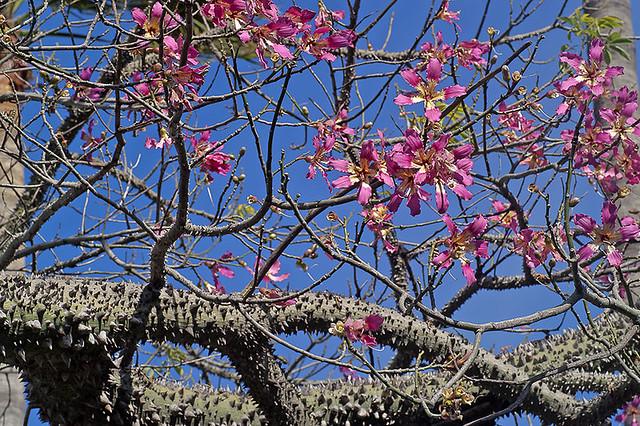 Chorisia speciosa - Florettseidenbaum, Wollbaum