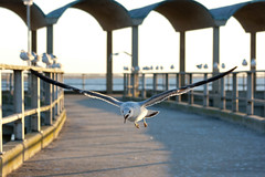 Sea Gull Flying