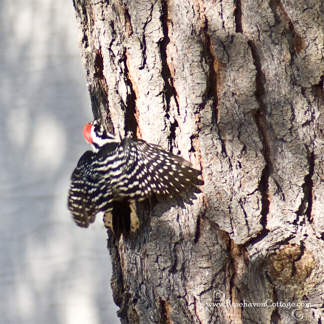 Mr. Woodpecker tries to settle back down to eat after the squirrels' interruption