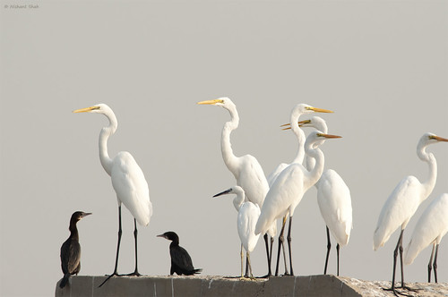 Meet the egrets
