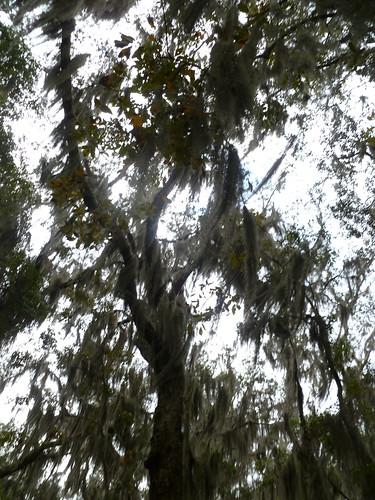 Spanish Moss covered tree