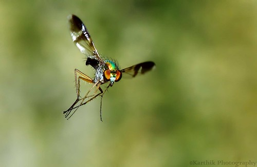 Long Legged Fly In Flight