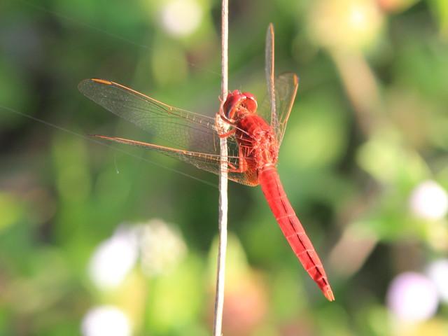 Scarlet Skimmer (Crocothemis servilia) 20111215