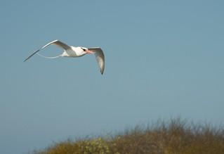 Red-Billed Tropic Bird Flight