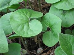 annual plant, leaf, plant, herb, flora, green, centella,