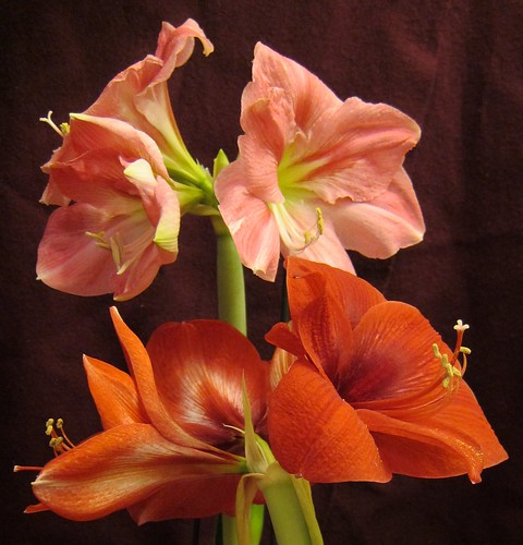 Amaryllis, pink and red by Anna Amnell