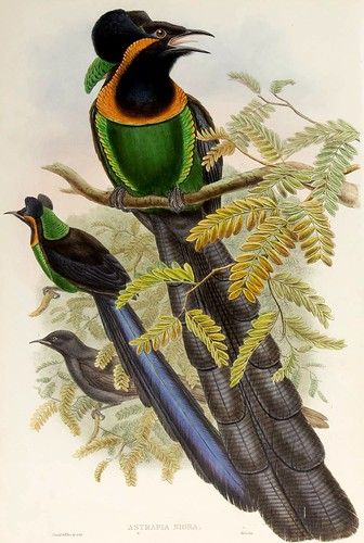 027-Ave del paraiso de gorguera-The birds of New Guinea and the adjacent Papuan islands..1875-1888-Vol I-Gould y Sharpe