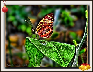 Mariposa de Holanda - Dutch Butterfly