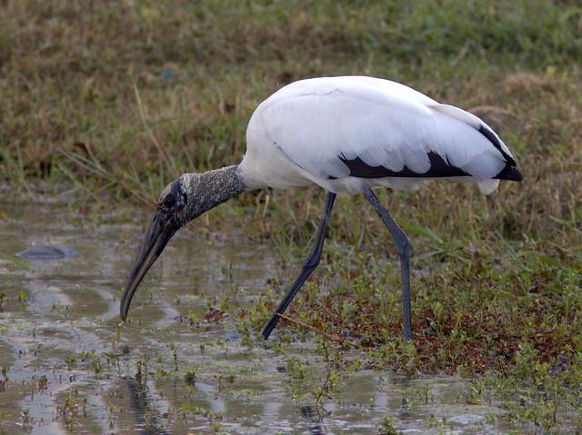 Wood Stork 20120101