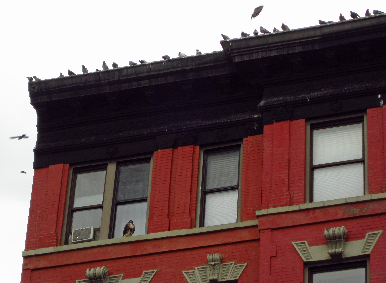 Tompkins Square hawk