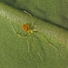 Theridion grallator, Thurston Lave Tube area, Hawaii Volcanoes National Park, Puna District, Hawaii County, Hawaii 6 by Alan Cressler