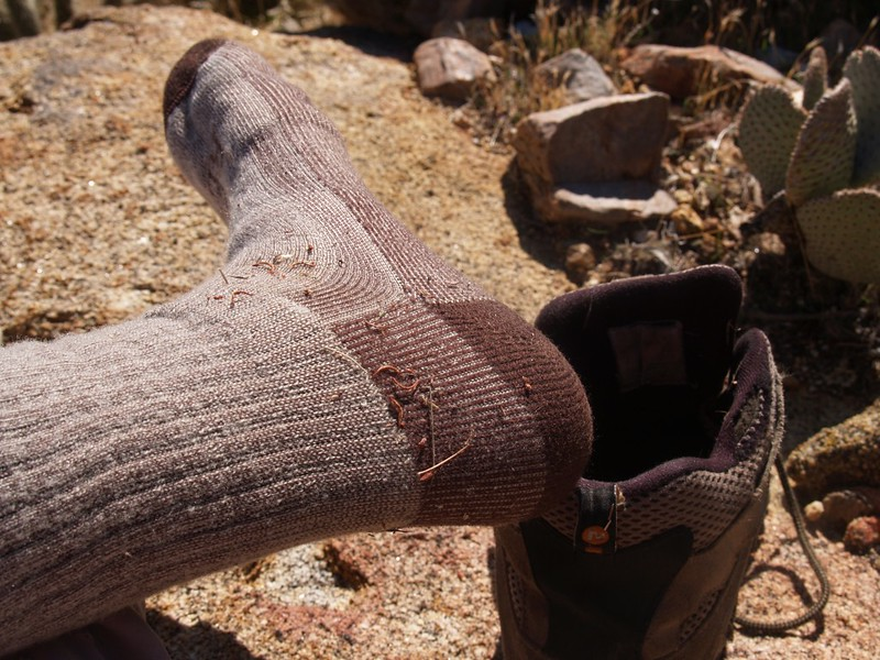 Foxtail Grass (Alopecurus) - poking into my socks and boots - ouch!