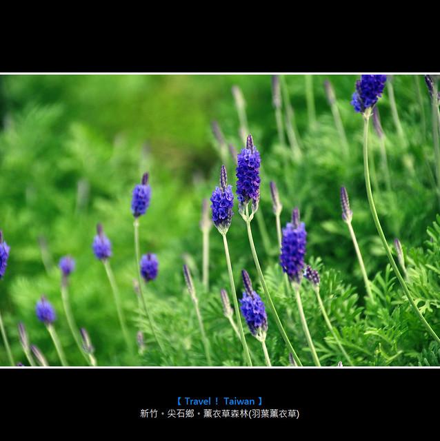 新竹。尖石鄉。薰衣草森林(羽葉薰衣草)1