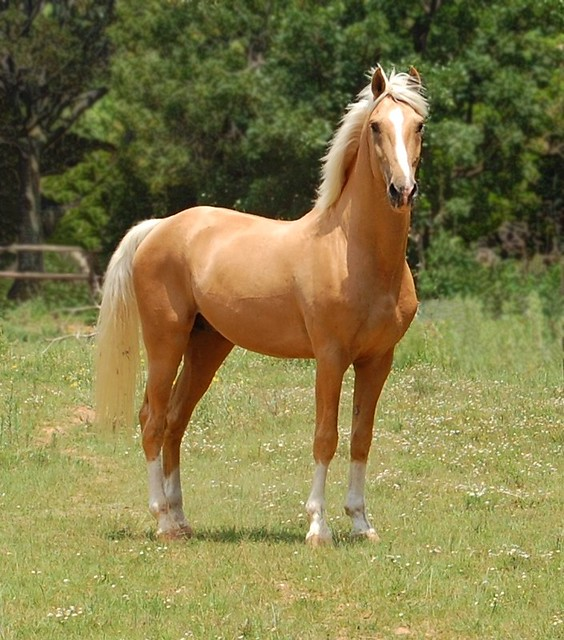 palomino horse color - photo #17