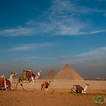 Camels at the Giza Pyramids - Egypt