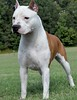 "AKC/UKC CH. Buenos Aires Escape to the Stars ""Dara"""