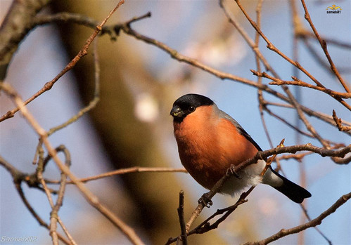 The Bud Thief  (Bullfinch) by sarniebill1
