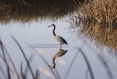 Great Blue Heron by lstarner (Lynn)