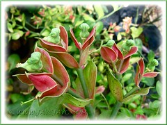 Birdlike flowers (cyathia) of Euphorbia bracteata (Little Bird Flower, Slipper Plant, Candelilla), at a garden center