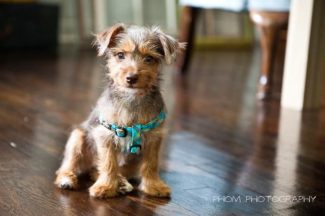 Olive - our little Dorkie   Flickr - Photo Sharing!