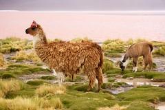 alpaca(1.0), animal(1.0), prairie(1.0), mammal(1.0), llama(1.0), herd(1.0), grazing(1.0), fauna(1.0), vicuã±a(1.0), guanaco(1.0), pasture(1.0), grassland(1.0), wildlife(1.0),