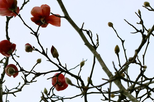 1/19/12 - Japanese Magnolia in bloom by {elke}