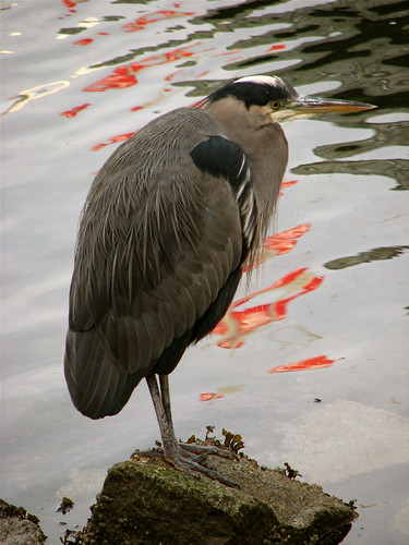reflection on a heron