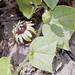 Passiflora conzattiana Killip - Flor y hojas
