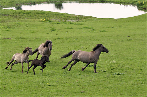 Playing Konik Horses
