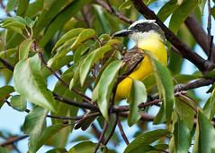 eurasian golden oriole(0.0), flower(0.0), animal(1.0), branch(1.0), yellow(1.0), nature(1.0), flora(1.0), green(1.0), fauna(1.0), coraciiformes(1.0), beak(1.0), bird(1.0), wildlife(1.0),