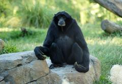 chimpanzee, animal, monkey, zoo, mammal, great ape, fauna, ape, wildlife,