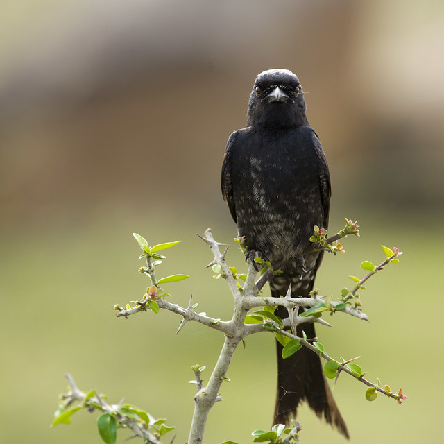 The Aggressive Black Drongo!
