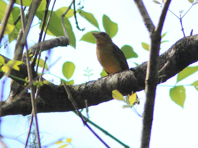 Summer Tanager 20120131