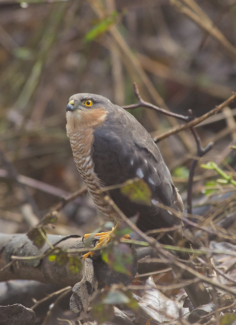 sparrowhawk 3