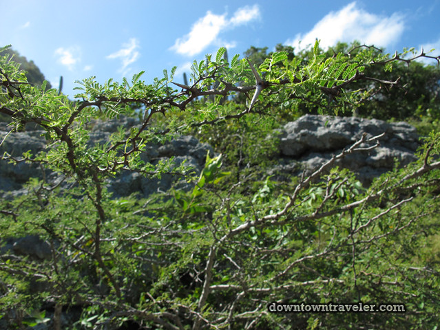 Curacao Mt Christofell Hike thorn tree