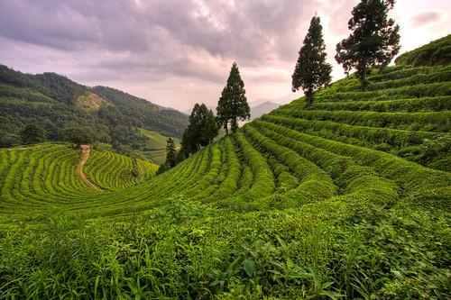 Boseong Green Tea Plantation, South Korea
