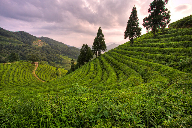 Mokpo-si South Korea  city pictures gallery : Boseong Green Tea Plantation, South Korea | My friend and I ...