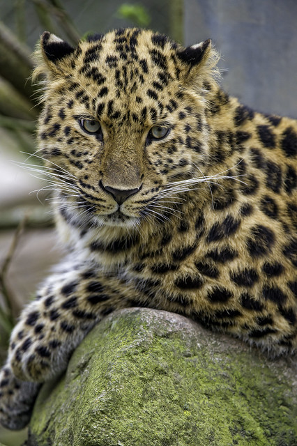 This leopardess can pose!