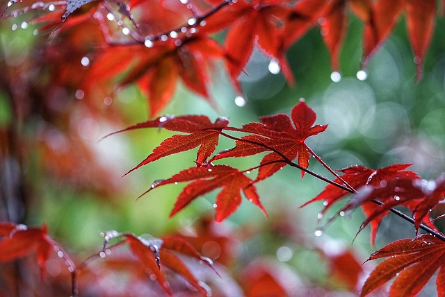 Red maple leaves in the rain