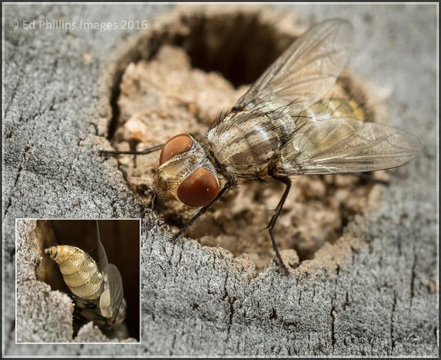Cleptoparasitic Fly