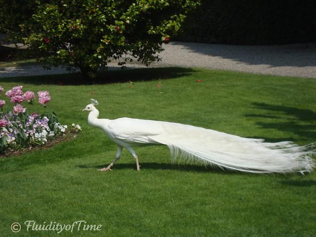 Isola Bella peacock