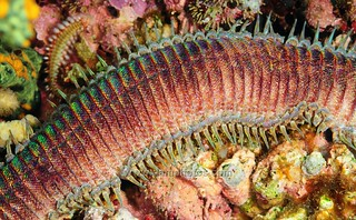 Eunice (Polychaete?) Worm Detail