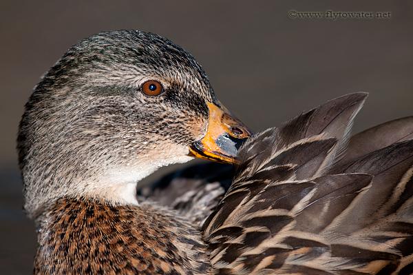 Preening Hen