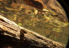 Tadpole underwater