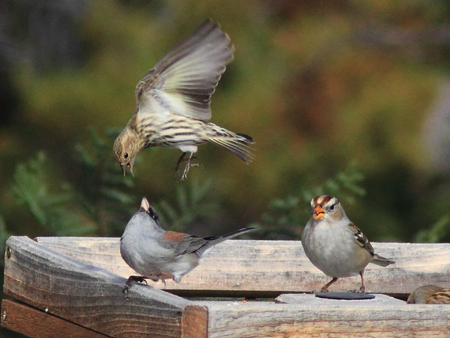 Siskin Junco and White-crown squabble 20111114