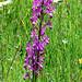 Loose Flowerd Orchid (Tom McJannet)